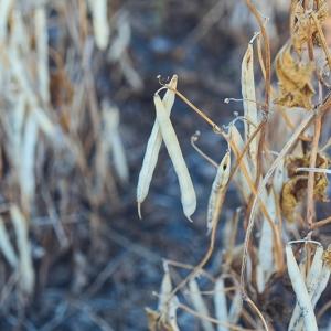 Grady Thorsgard - Harvest (black and pinto)